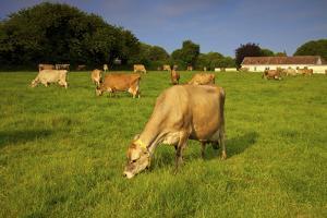 Jersey Cattle, Jersey, Channel Islands, Europe by Neil Farrin