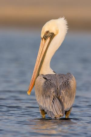 A Brown Pelican in a Southern California Coastal Wetland