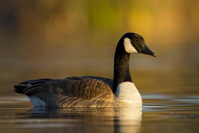 A Canada Goose on a Lake in Southern California