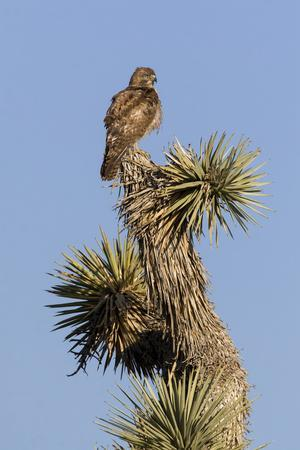 A Juvenile Red-Tailed Hawk on a Joshua Tree in the Southern California Desert