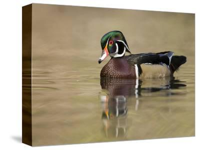 A Male Wood Duck (Aix Sponsa) on a Small Pond in Southern California.