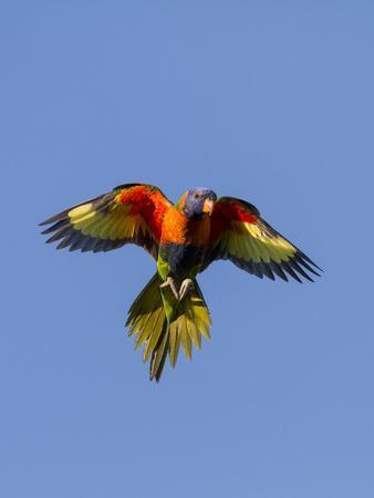 A Rainbow Lorikeet from Northern Australia in Flight in Southwest Australia