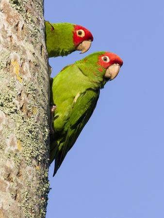 A Red-Masked Parakeet Peers from a Nest Cavity in South Florida.