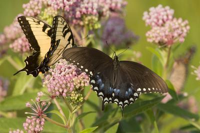 A Spicebush Swallowtail Feeds from Milkweed Flowers in a Virginia Wetland