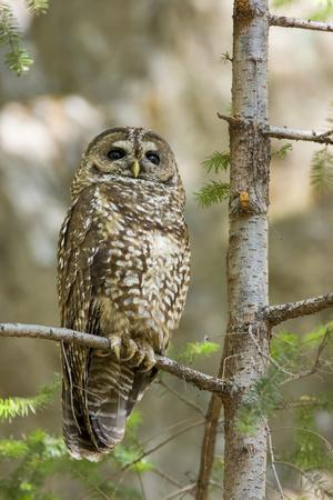 A Spotted Owl in Los Angeles County, California