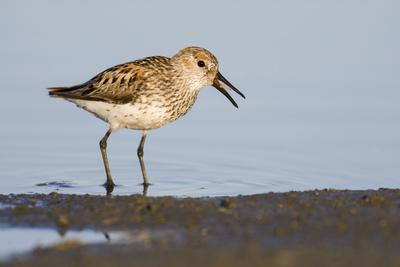 A Western Sandpiper Captures a Midge in a Central California Wetland