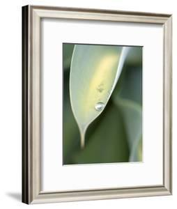 Water Drop on Leaf of Agave Attenuata, Prince Albert, Western Cape, South Africa by Neil Overy