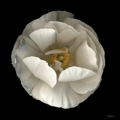 Folded Ranunculus by Neil Seth Levine
