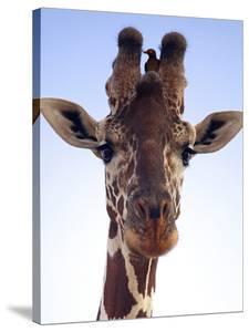 Giraffe Looking at Camera, Tsavo, Kenya, Africa by Neil Thomas