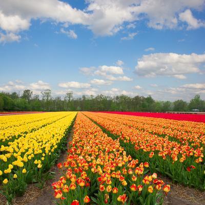 Dutch Yellow and Orange Tulip Fields in Sunny Day