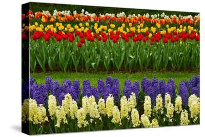 Stripes of Dutch Tulips and Hyacinth