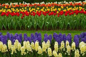 Stripes of Dutch Tulips and Hyacinth by neirfy
