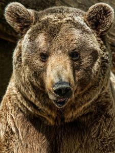 Brown Bear Close-Up Shot by NejroN Photo