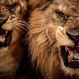 Close-Up Shot Of Two Roaring Lion by NejroN Photo