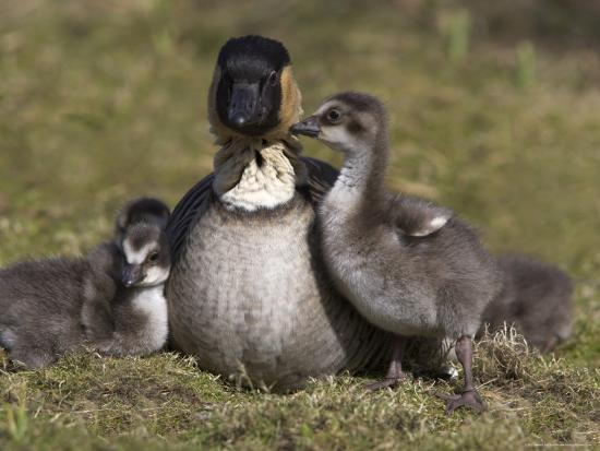 Nene, Branta Sandvicensis, Hawaiian Goose with Goslings, Burscough  Photographic Print by Steve & Ann Toon | Art com