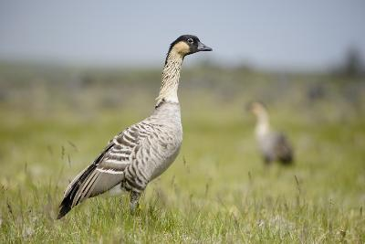 Nene - Hawaiian Goose (Branta Sandvicensis) Hawaii. April. Vulnerable Species-Gerrit Vyn-Photographic Print