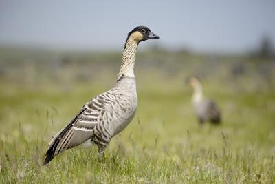 https://imgc.artprintimages.com/img/print/nene-hawaiian-goose-branta-sandvicensis-hawaii-april-vulnerable-species_u-l-q11q2u00.jpg?p=0