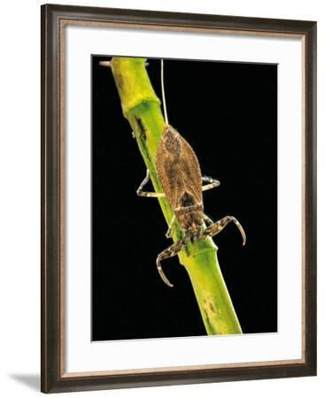 Nepa Cinerea (Water Scorpion)-Paul Starosta-Framed Photographic Print