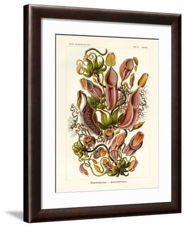 Nepenthaceae, 1899-1904--Framed Giclee Print