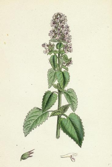 Nepeta Cataria Cat-Mint--Giclee Print
