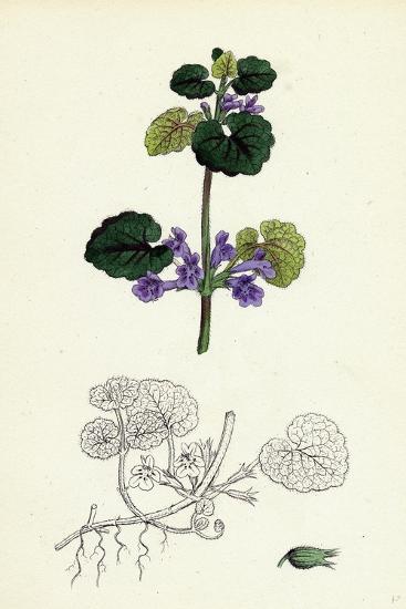 Nepeta Glechoma Ground Ivy--Giclee Print