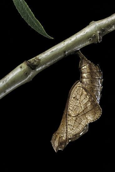 Neptis Hylas (Common Sailer Butterfly) - Pupa-Paul Starosta-Photographic Print