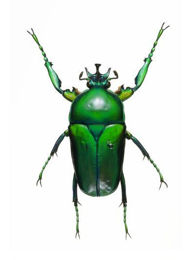 Neptunides Flower Beetle-Lawrence Lawry-Photographic Print