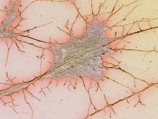 Nerve Cell Culture, SEM-Science Photo Library-Photographic Print