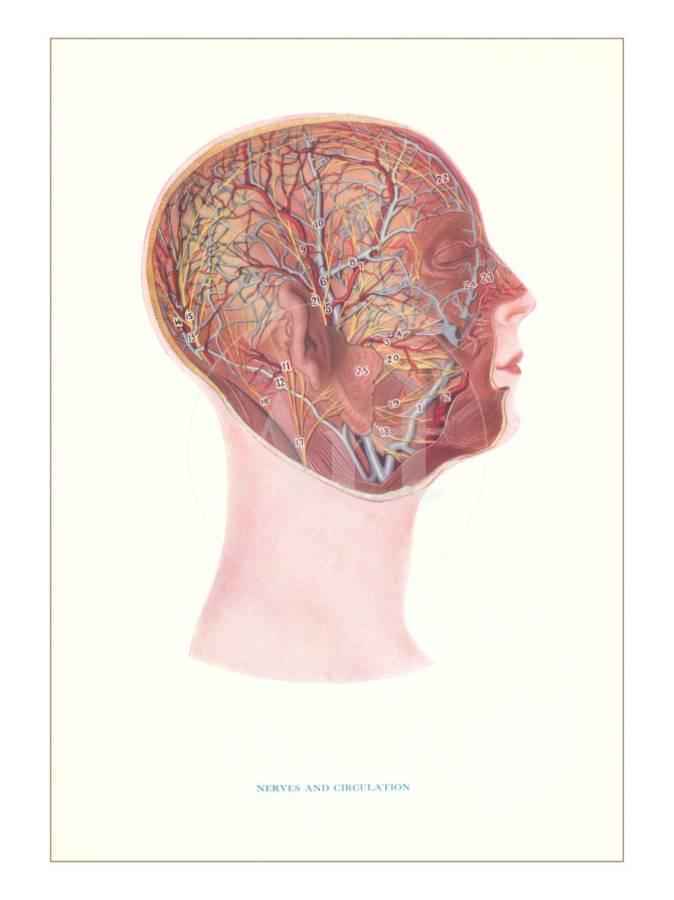 Nerves And Circulation Of The Head And Neck Art Print By Art