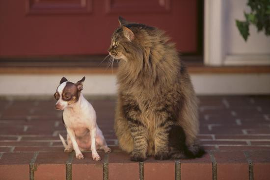 Nervous Chihuahua Sitting beside a Cat-DLILLC-Photographic Print