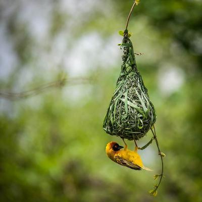 Nest-Building-Bartosz Budrewicz-Photographic Print