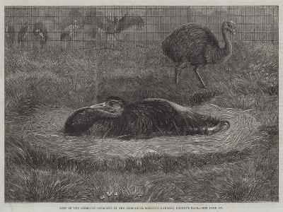 Nest of the American Ostriches in the Zoological Society's Gardens, Regent's Park--Giclee Print