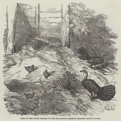 Nest of the Brush Turkey, in the Zoological Society's Gardens, Regent'S-Park-Harrison William Weir-Giclee Print