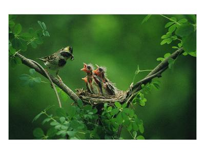 Nesting Baby Birds and Mother--Art Print