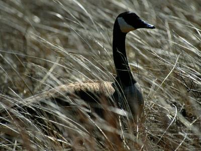Nesting Canada Goose at Jamaica Bay Wildlife Refuge-Raymond Gehman-Photographic Print
