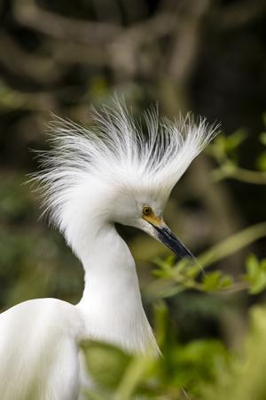 https://imgc.artprintimages.com/img/print/nesting-snowy-egrets-on-alcatraz-island-san-francisco-california-usa_u-l-q13c66m0.jpg?p=0