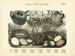 Nests and Eggs, C.1860