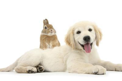 Netherland Cross Rabbit, Looking over the Back of Golden Retriever Dog Puppy, Oscar, 3 Months-Mark Taylor-Photographic Print