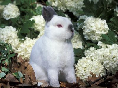 Netherland Dwarf Domestic Rabbit-Lynn M^ Stone-Photographic Print