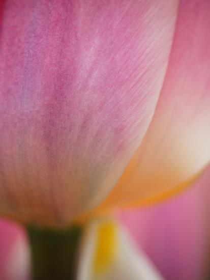 Netherlands, Macro of Colorful Tulip-Terry Eggers-Photographic Print