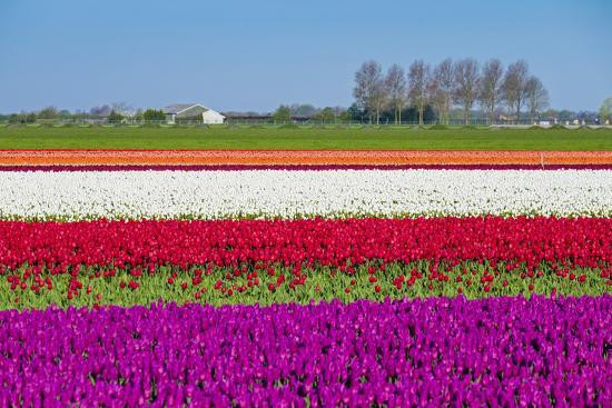 Netherlands, North Holland, Venhuizen. Colorful tulip fields in early spring.-Jason Langley-Photographic Print