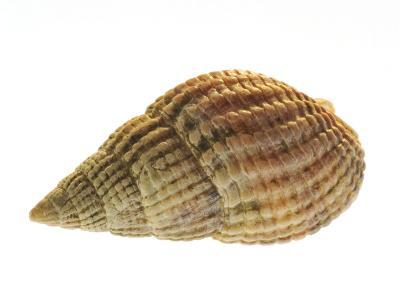 Netted Dog Whelk Shell, Normandy, France-Philippe Clement-Photographic Print