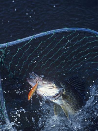 Netting Walleye-Wally Eberhart-Photographic Print