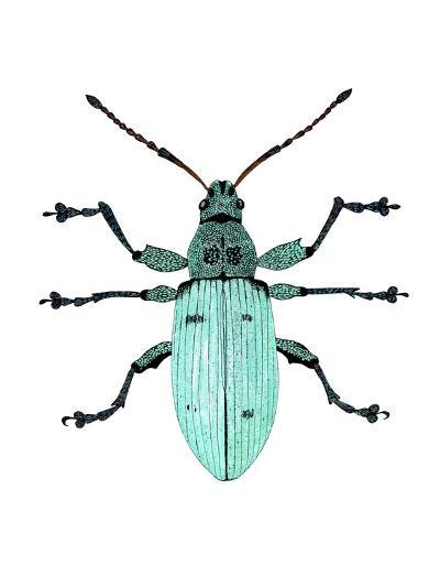 Nettle Weevil-Dr. Keith Wheeler-Photographic Print