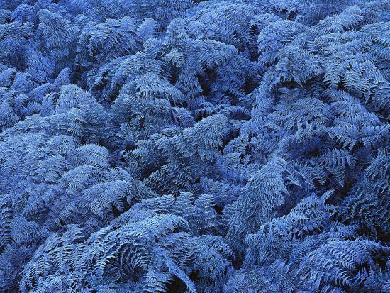 Neuseeland, Farne, Raureif, New Zealand, Pflanzen, Gefroren, Frieren-Thonig-Photographic Print