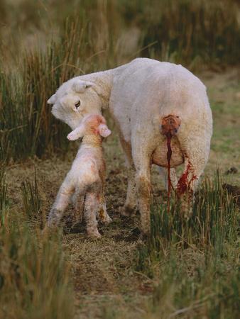 Neuseeland, Schaf, Lamm, Geburt, Schafe, Mutter, Lv¤Mmchen-Thonig-Photographic Print