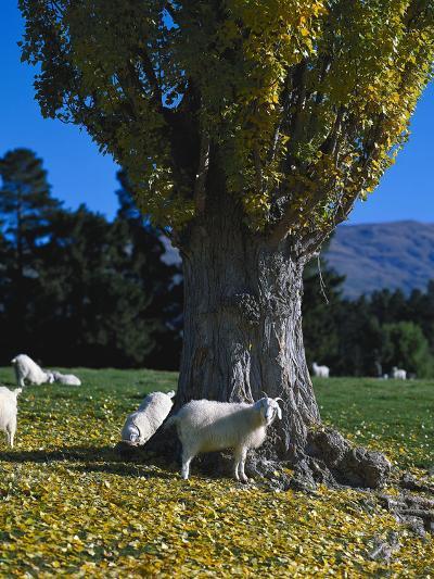 Neuseeland, Sv¼dinsel, Herbst, , Weide, Ziegen , New Zealand-Thonig-Photographic Print