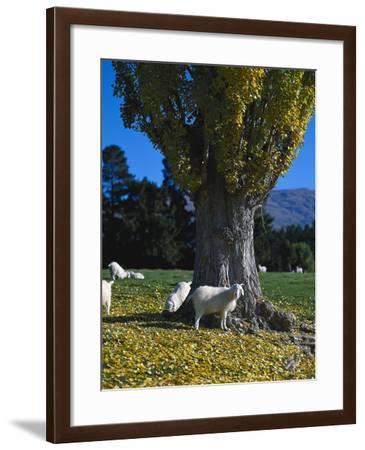 Neuseeland, Sv¼dinsel, Herbst, , Weide, Ziegen , New Zealand-Thonig-Framed Photographic Print