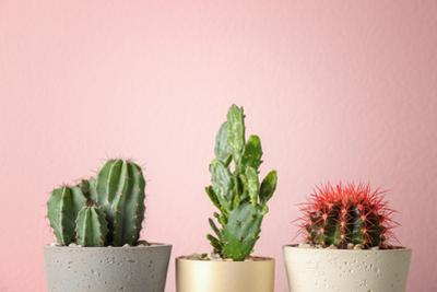 Beautiful Cactuses in Pots on Color Background by New Africa