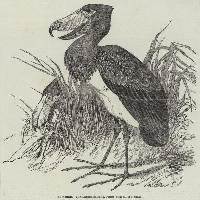 New Bird, (Balaeniceps Rex), from the White Nile--Giclee Print